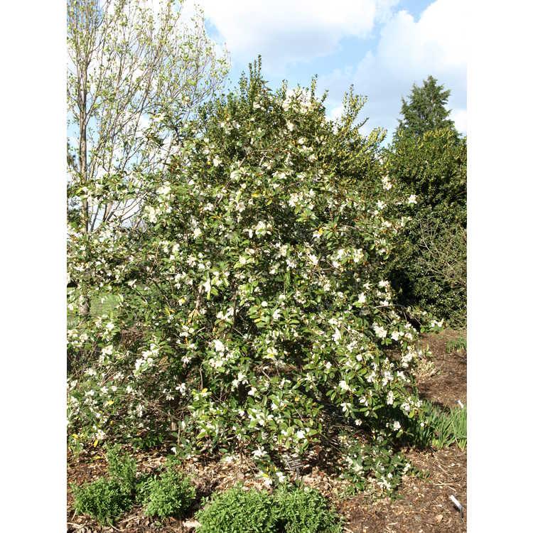 Magnolia laevifolia 'Michelle' - shrubby michelia