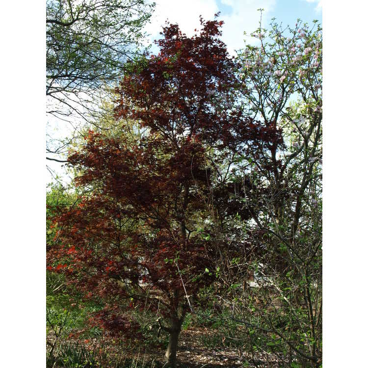 Acer palmatum 'Margaret Bee' - purple-leaf Japanese maple