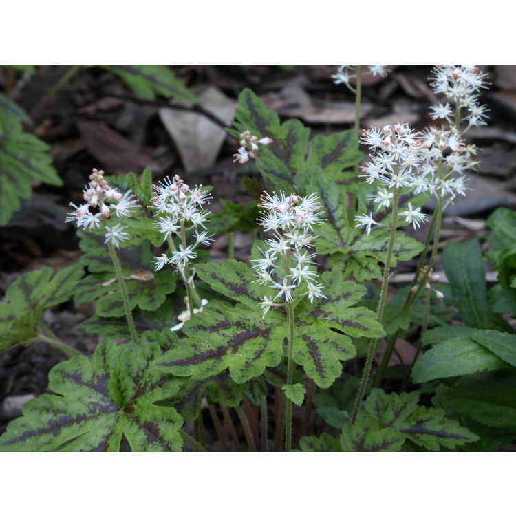 Tiarella 'Happy Trails' - hybrid foamflower