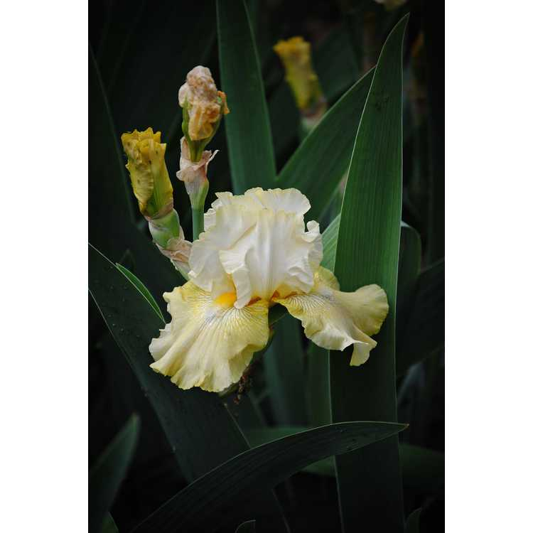 Iris 'Again and Again' - tall bearded reblooming iris