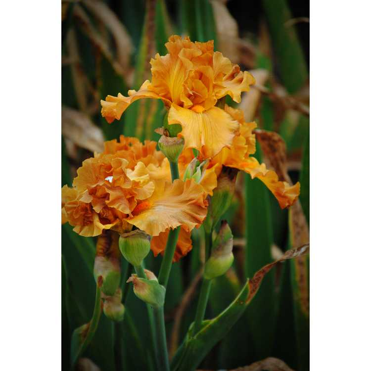 Iris Golden Panther