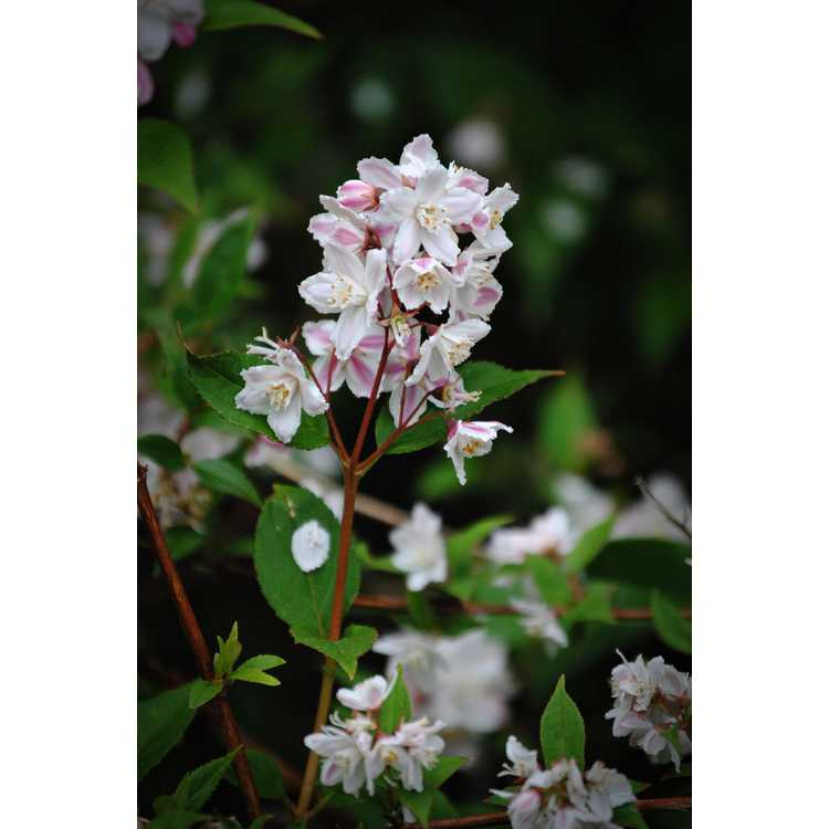Deutzia scabra Pink Minor