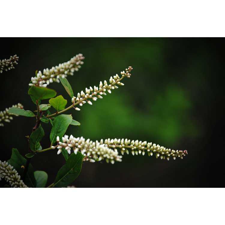 Itea virginica Japanese American