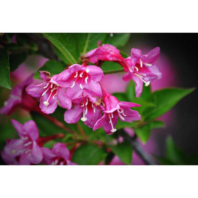 Weigela florida 'Bokrasoph' - Sonic Bloom Pink reblooming weigela