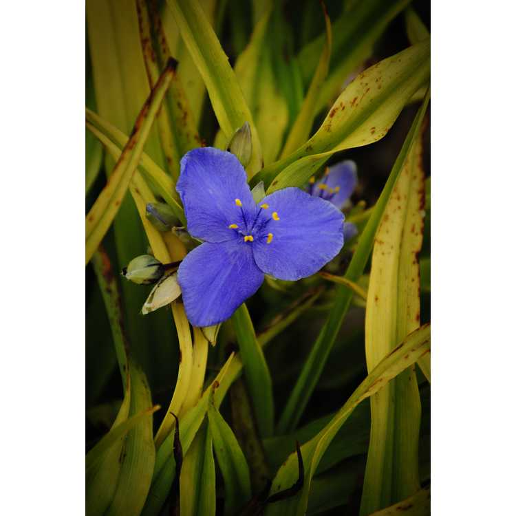 Tradescantia [Andersoniana Group] 'Sweet Kate'