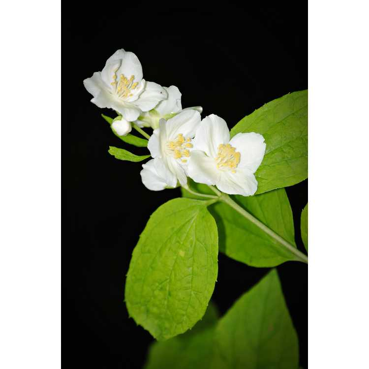 Philadelphus coronarius 'Aureus' - golden mock orange