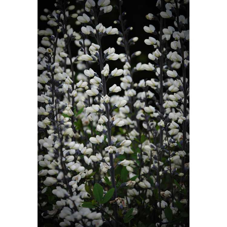 Baptisia alba var. alba Pendula Group