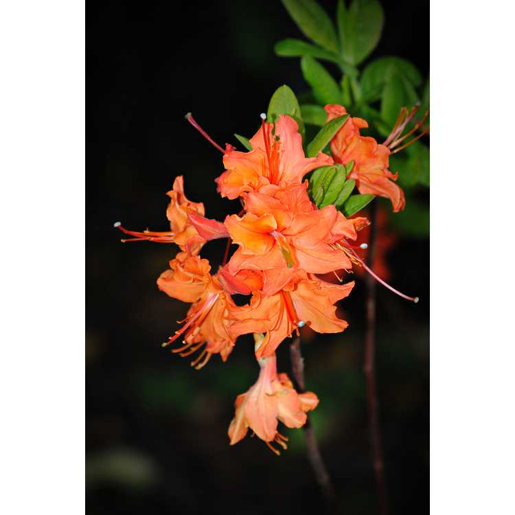 Rhododendron 'Mandarin Lights' - Northern Lights hybrid azalea