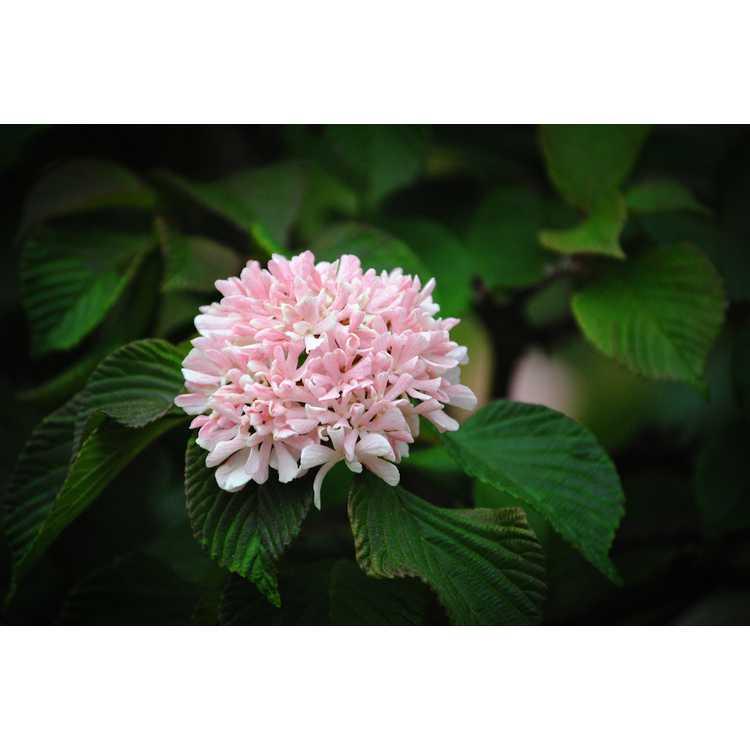 Viburnum plicatum Pink Sensation