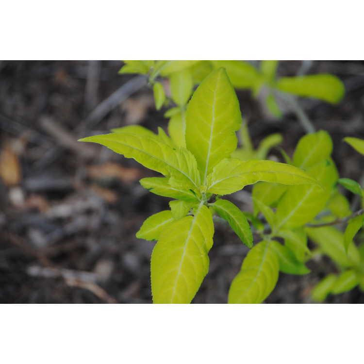 Hydrangea serrata 'Kogane Suruge' - gold mountain hydrangea
