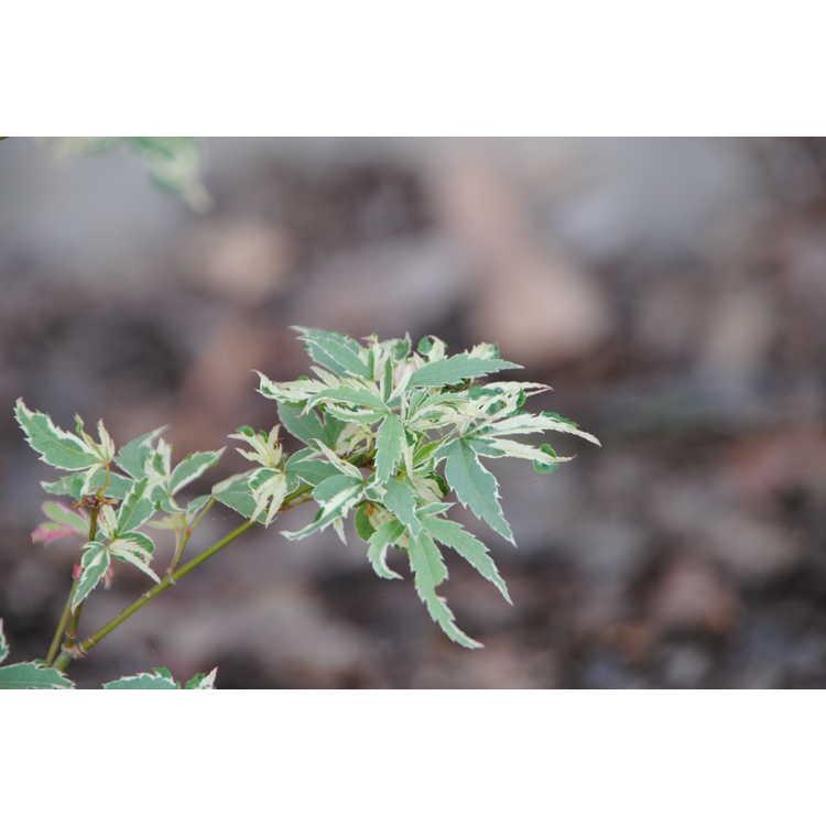 Acer palmatum 'Okukuji Nishiki'