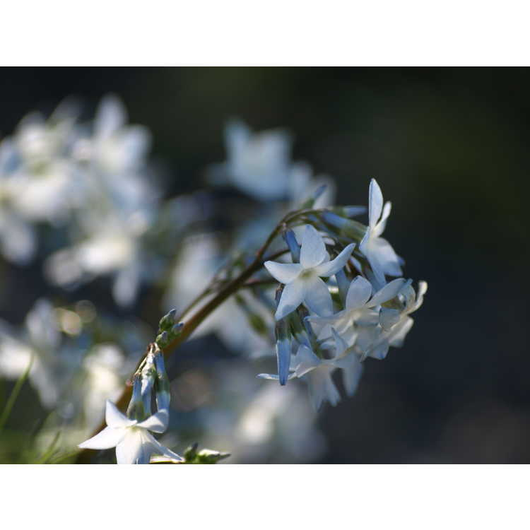 Amsonia ciliata var. filifolia 'Georgia Pancake' - threadleaf blue-star