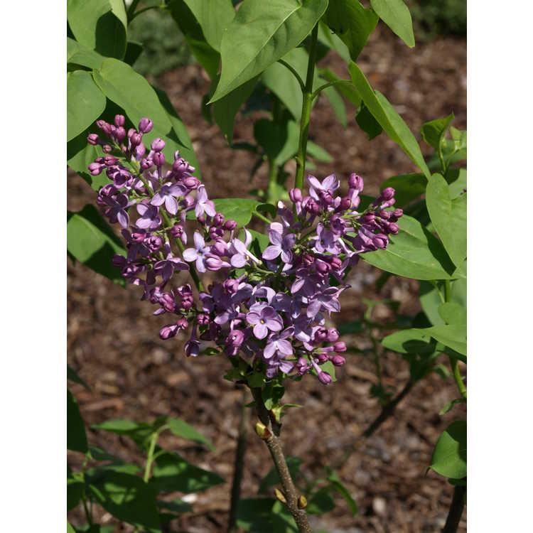 Syringa vulgaris 'Michael Buchner' - double-flowered common lilac