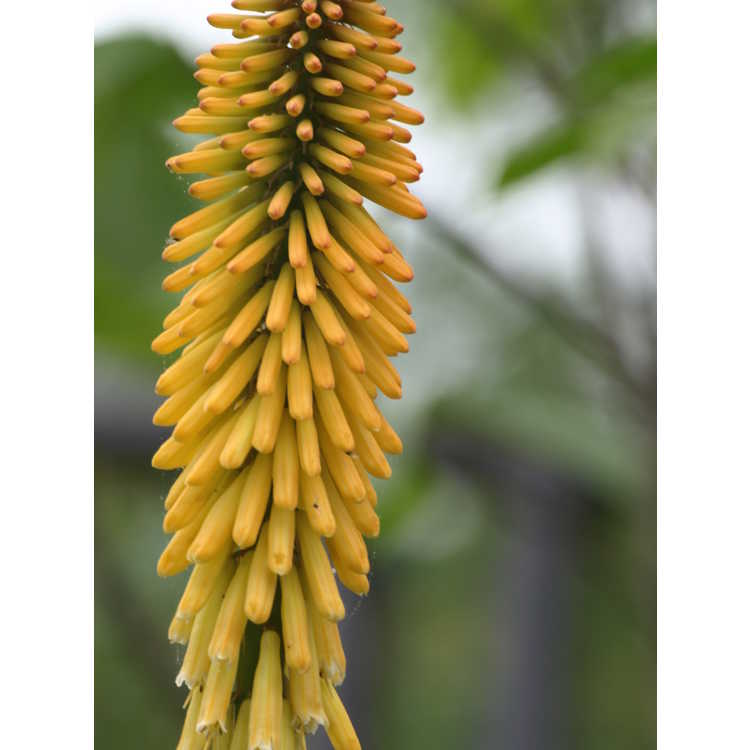 Kniphofia 'Echo Mango' - yellow red-hot poker