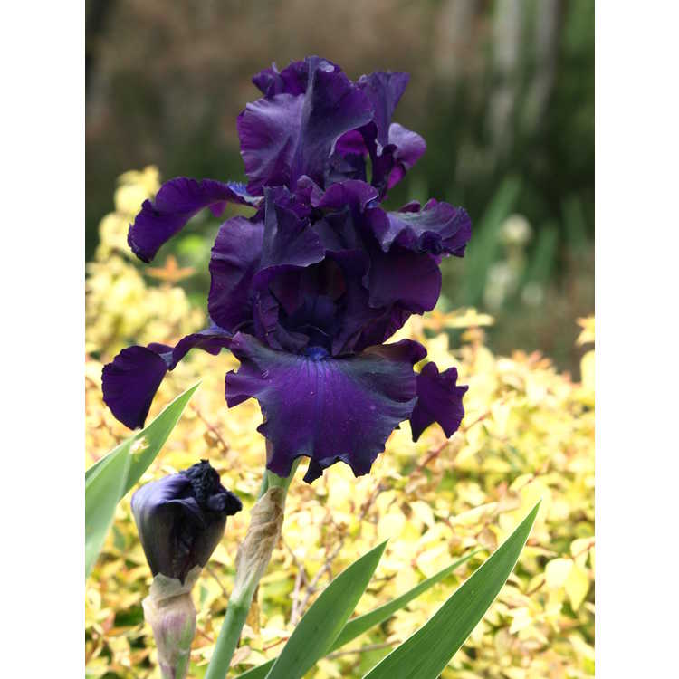 Iris 'Midnight Mink' - tall bearded iris