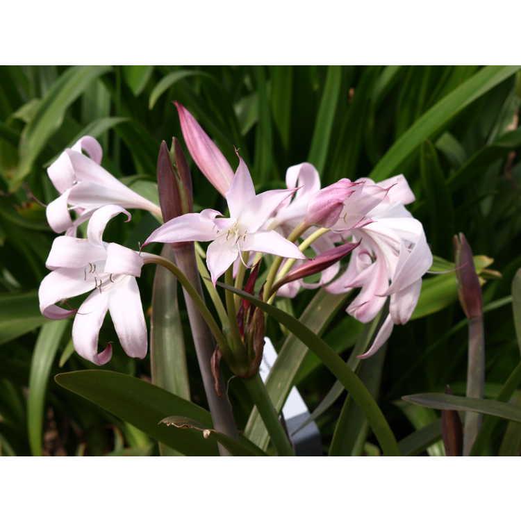 Crinum 'Alamo Village' - crinum lily