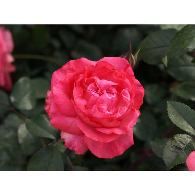 Rosa Radtreasure Tahitian Treasure