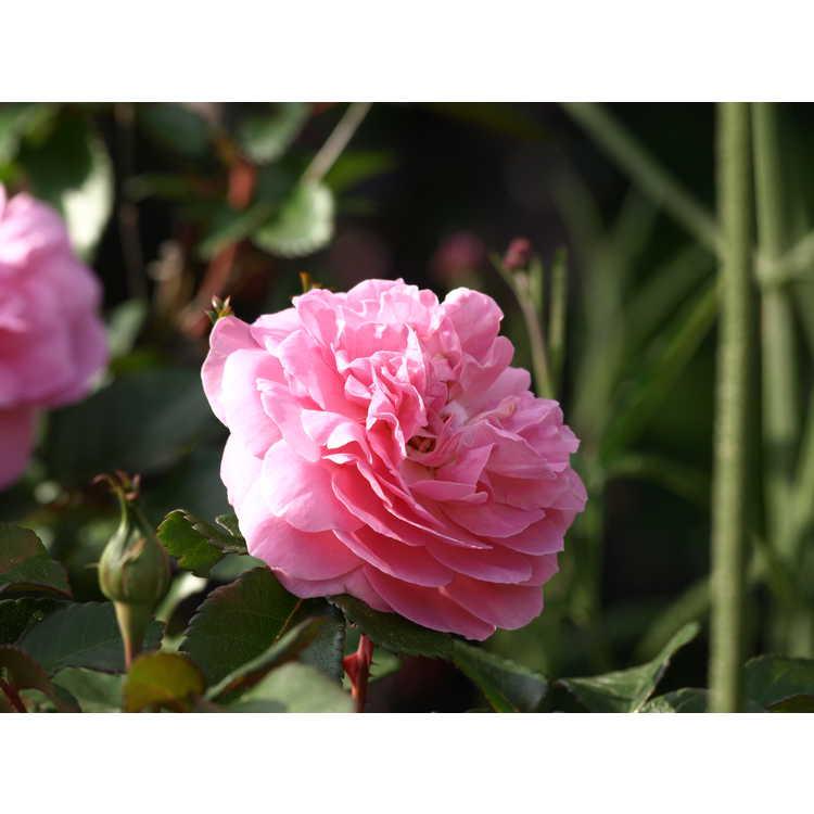 Rosa 'Radprov'