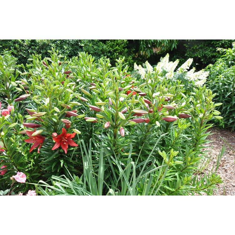 Lilium 'Red Alert' - hybrid lily