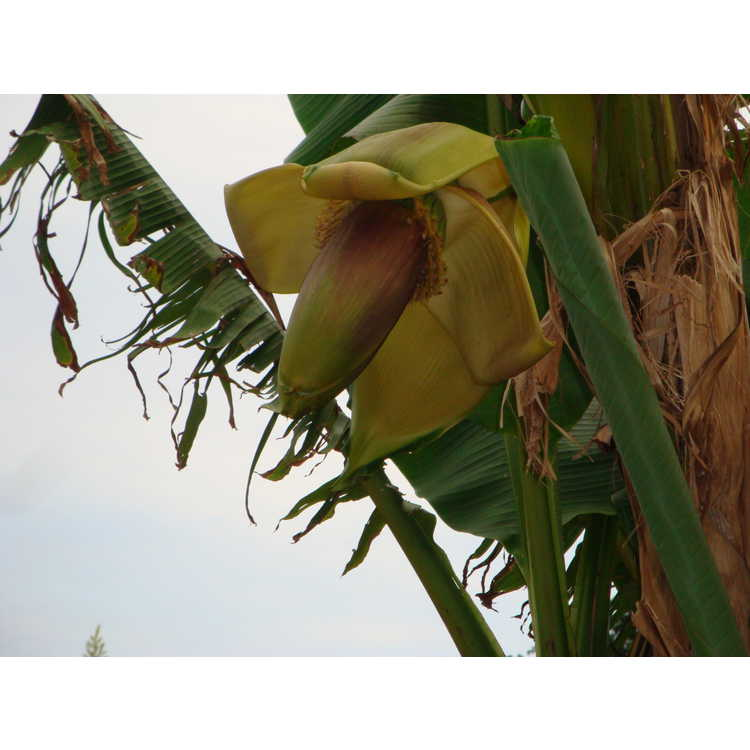 Musa basjoo - textile banana