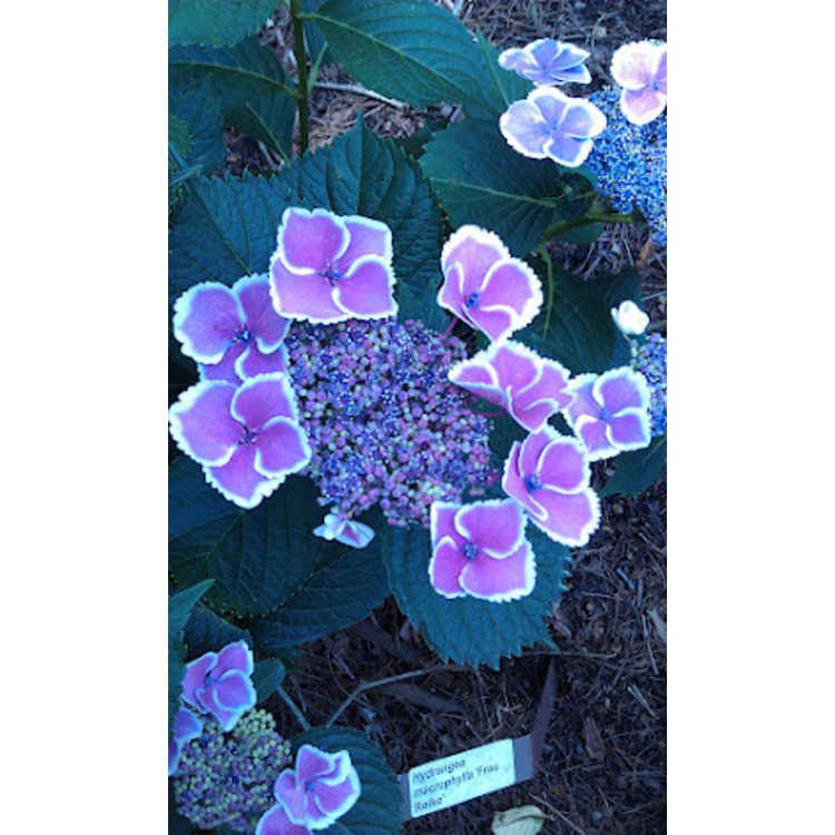 Hydrangea macrophylla Frau Reiko