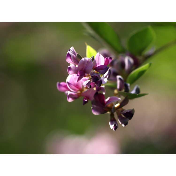 Lespedeza maximowiczii Niwata