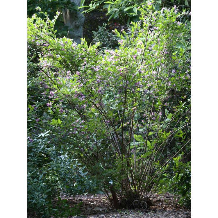 Lespedeza maximowiczii 'Niwata' - bush-clover