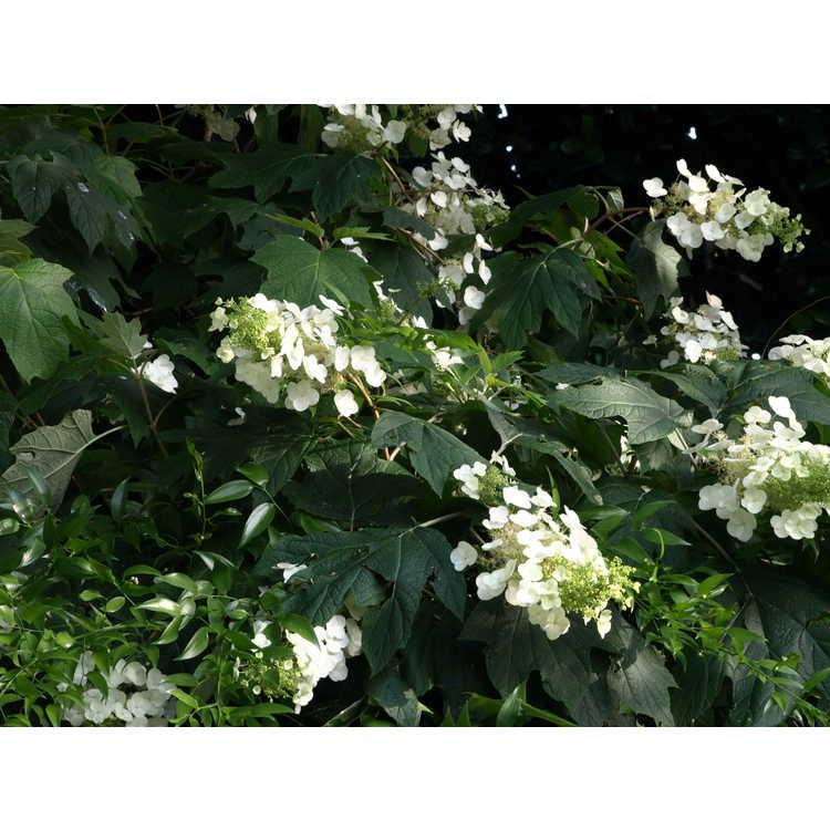 Hydrangea quercifolia 'Lynn Lowrey' - oakleaf hydrangea