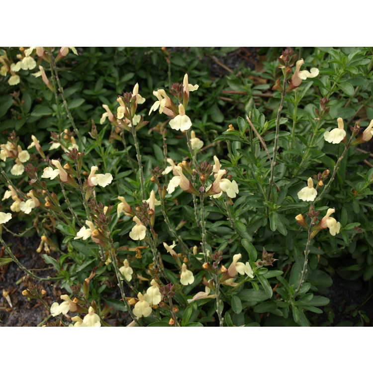 Salvia ×jamensis 'Golden Girl' - hybrid sage