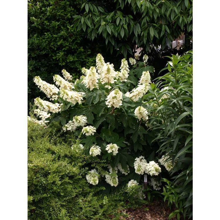 Hydrangea quercifolia 'Semmes Beauty' - oakleaf hydrangea
