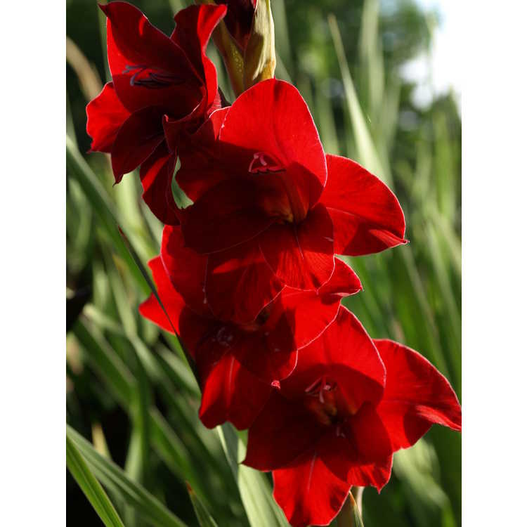 Gladiolus Flevo Junior