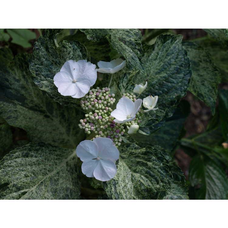 Hydrangea macrophylla 'Hatsushimo' - variegated bigleaf  hydrangea