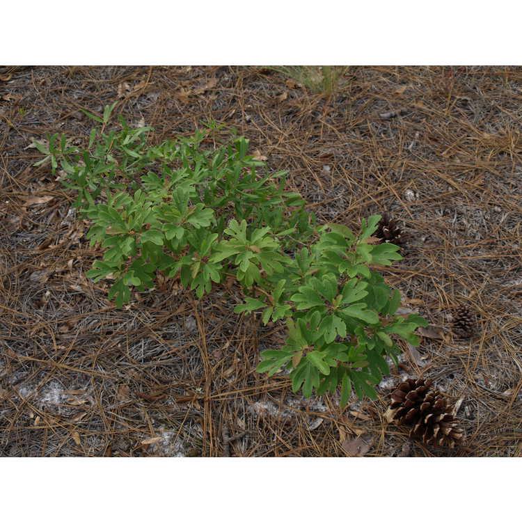 Sassafras albidum - common sassafras