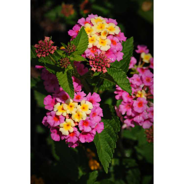 Lantana camara 'Ham and Eggs' - common lantana