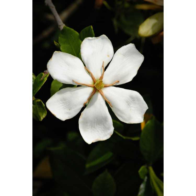 Gardenia jasminoides Lynn Lowrey
