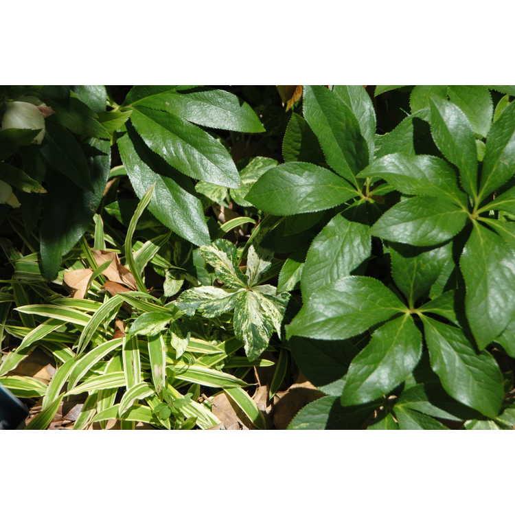 Helleborus ×hybridus (variegated)