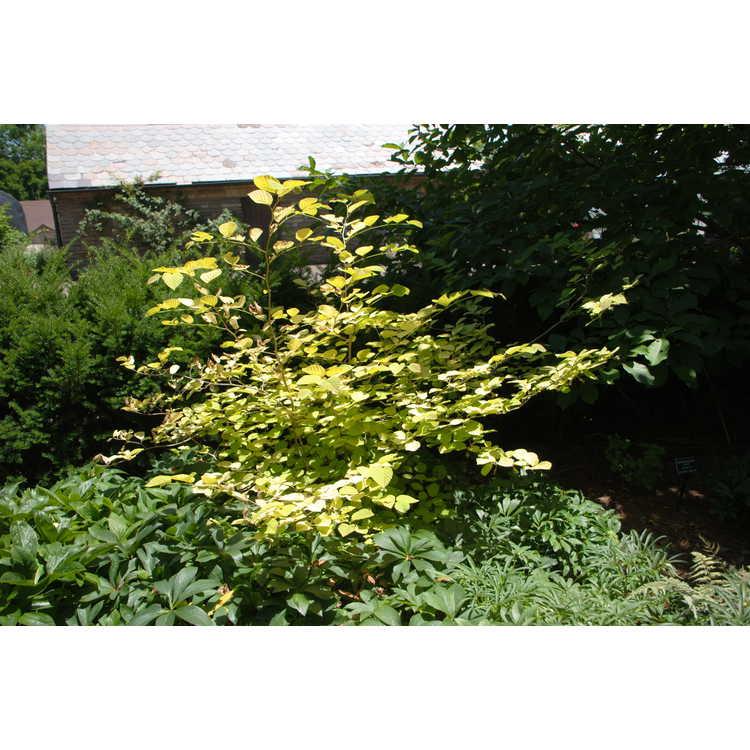 Corylopsis spicata 'Golden Spring' - spiked winterhazel