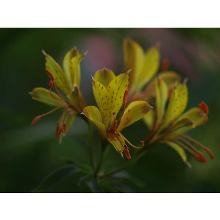 Alstroemeria Sweet Laura