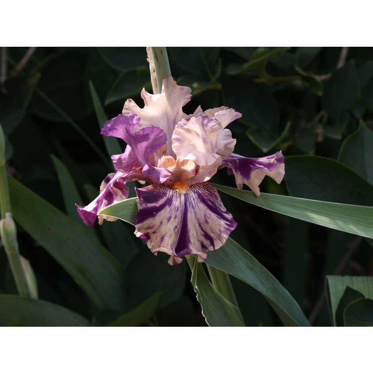 Iris Raspberry Silk