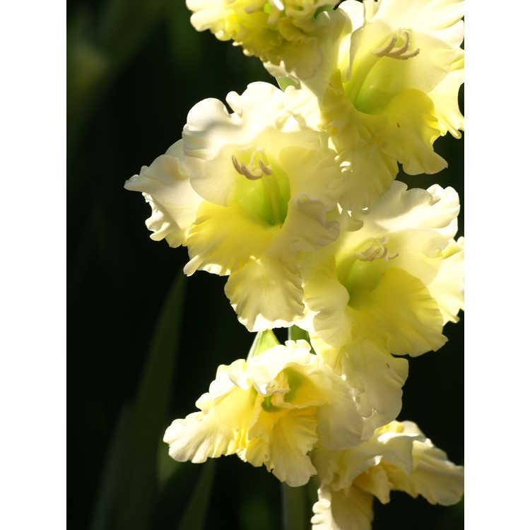 Gladiolus Flevo Jive