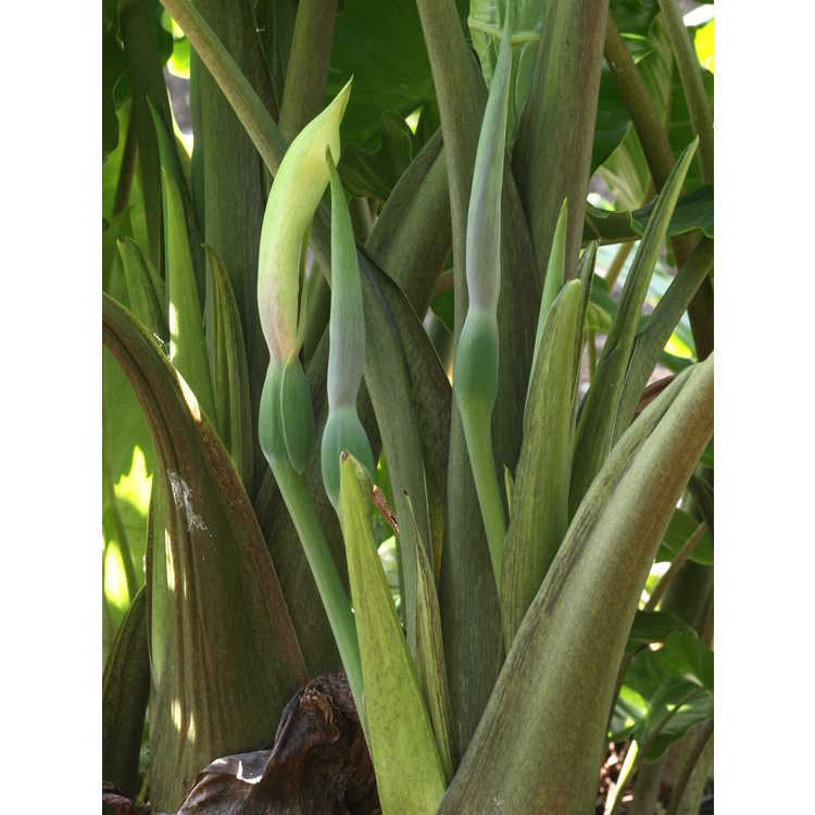Alocasia 'Portodora' - hybrid upright elephant ear