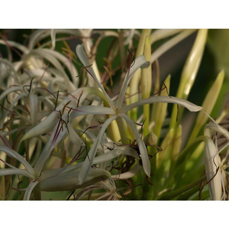 Crinum asiaticum japonicum
