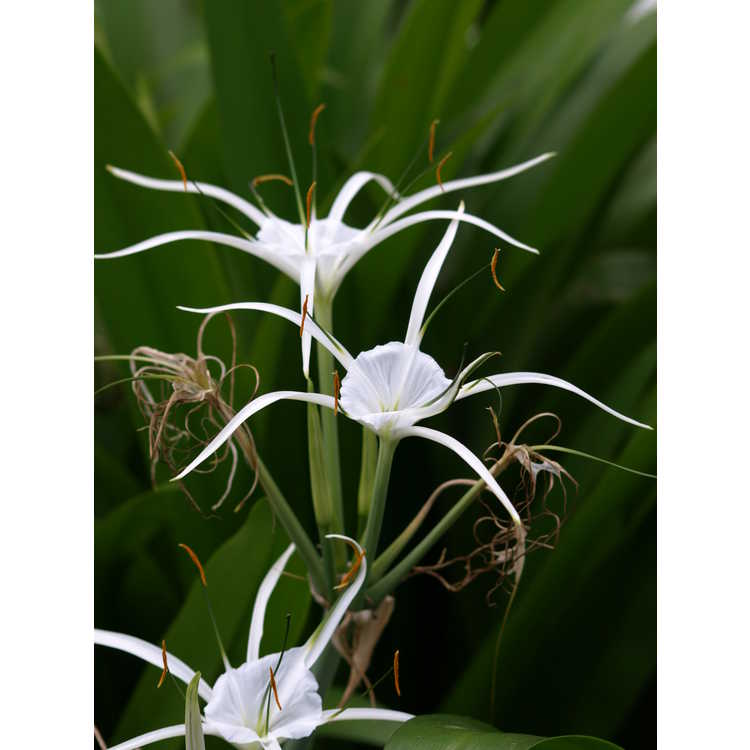Hymenocallis 'Tropical Giant' - spider lily