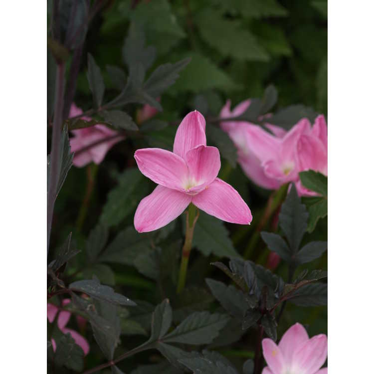 Zephyranthes 'Pink Panther' - pink rain-lily