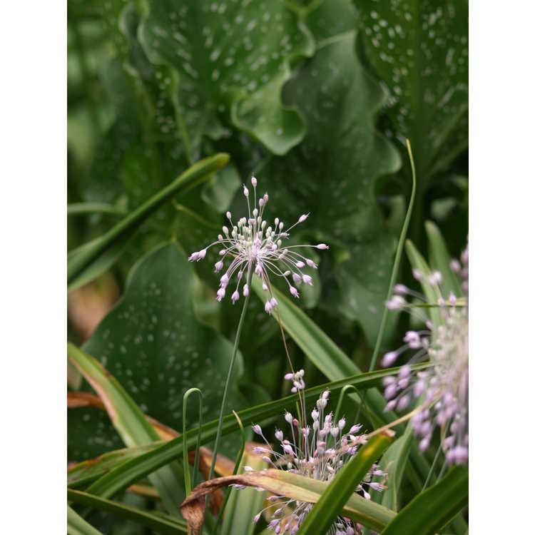 Allium pulchellum