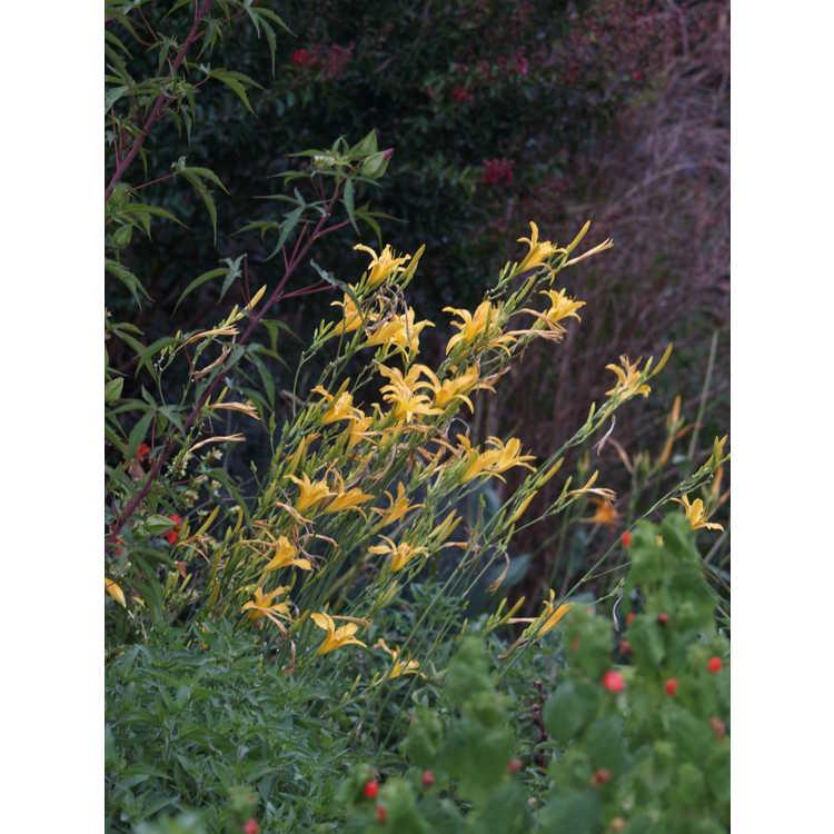 Hemerocallis 'Autumn Minaret' - daylily