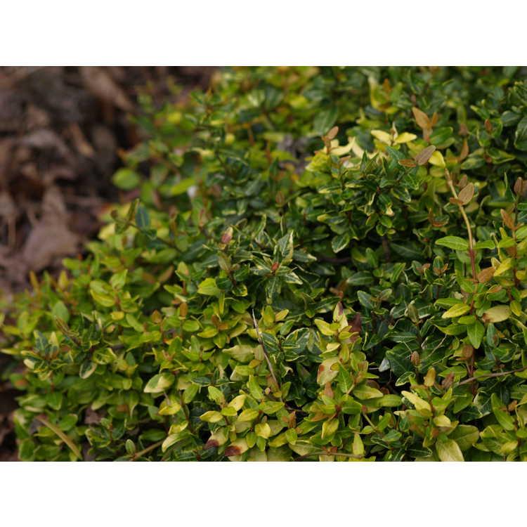 Trachelospermum asiaticum 'Atsuba Chirimen'