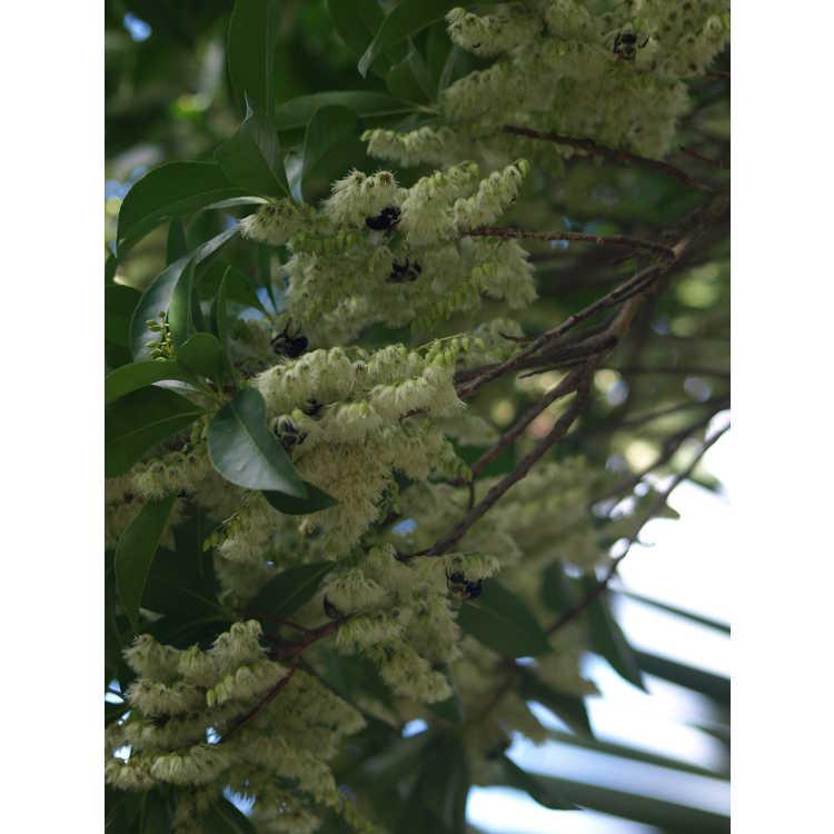 Elaeocarpus sylvestris - false blueberry
