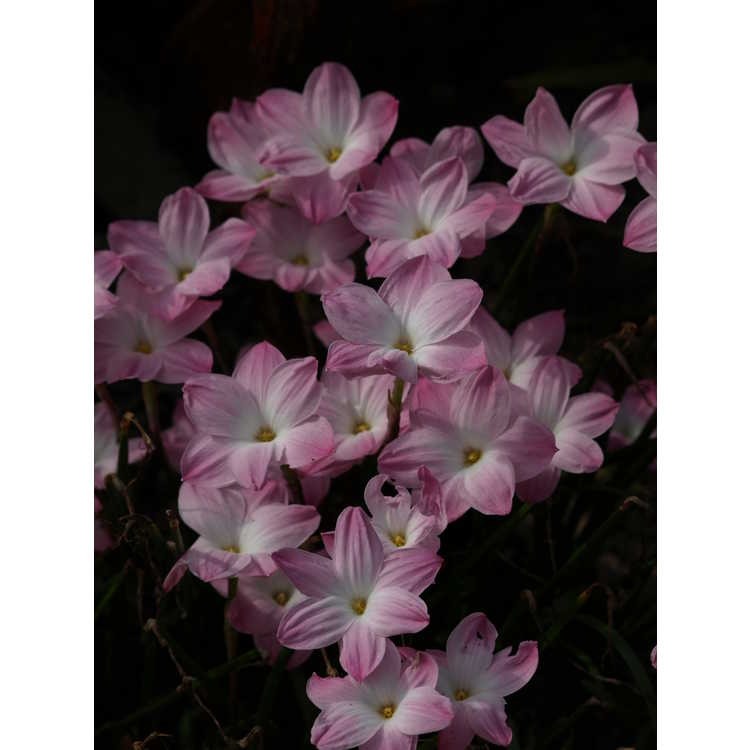 Zephyranthes 'Lily Pies'