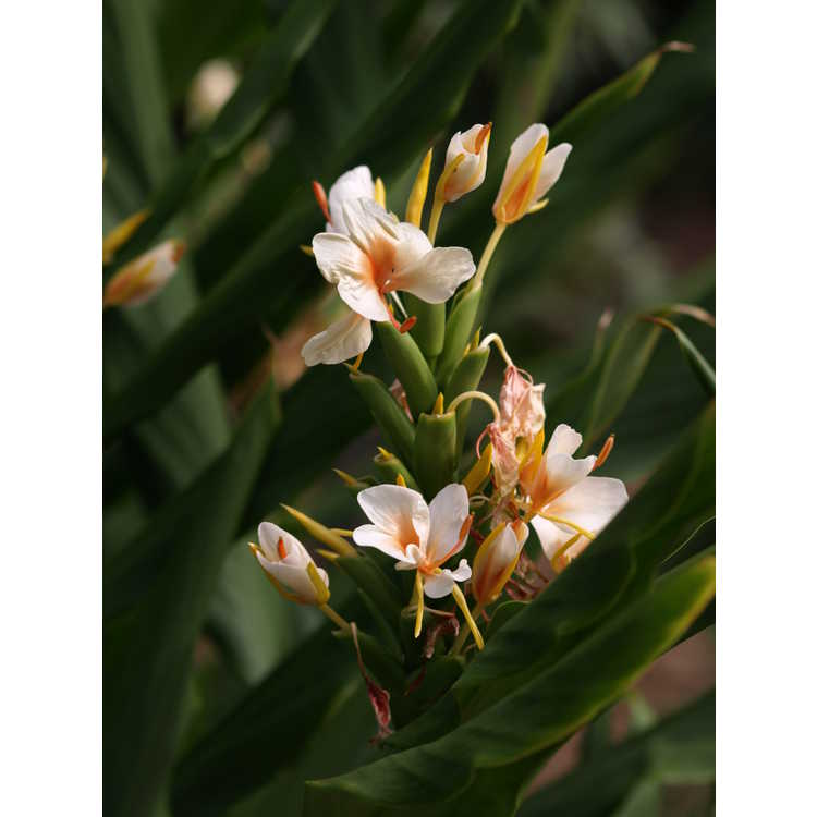 Hedychium 'Golden Butterfly' - hardy ginger-lily